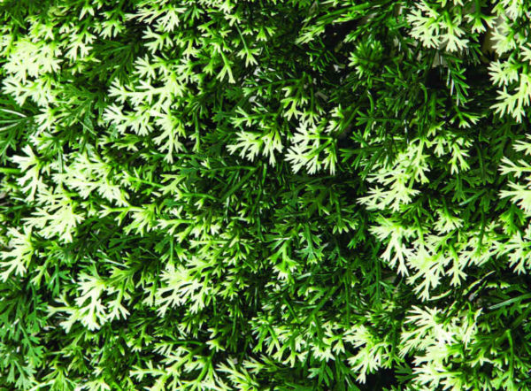 Jardín vertical Ciprés 25x25cm de Catral